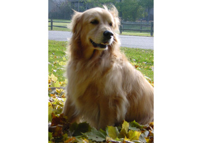 Golden Retriever Becka